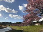 南伊豆の桜2.jpg