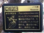 河津桜8.jpg