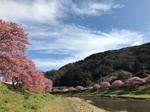 3河津桜.jpg